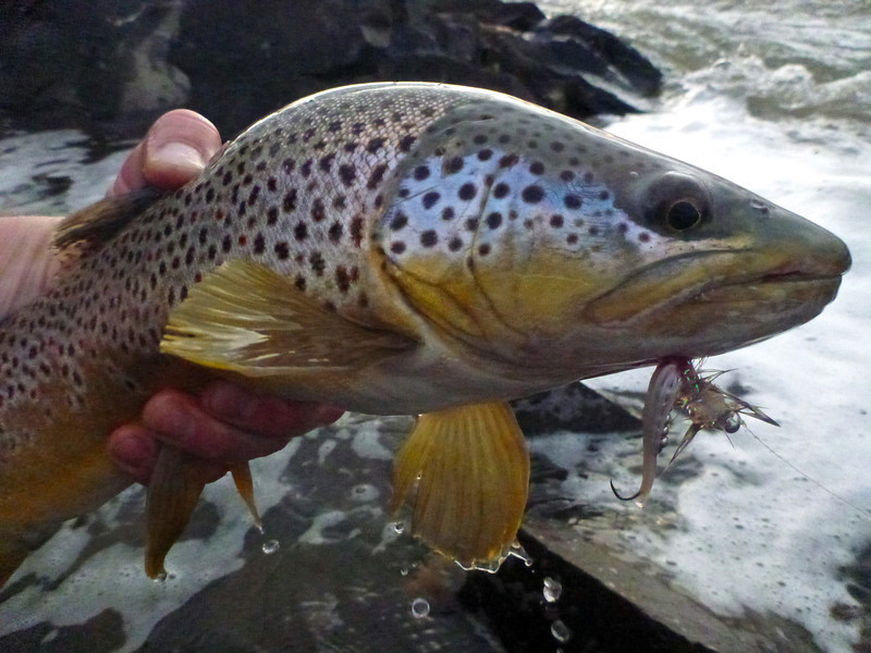 Yellowstone Brown, on the White Leadeye stinger... Photo: James Anderson