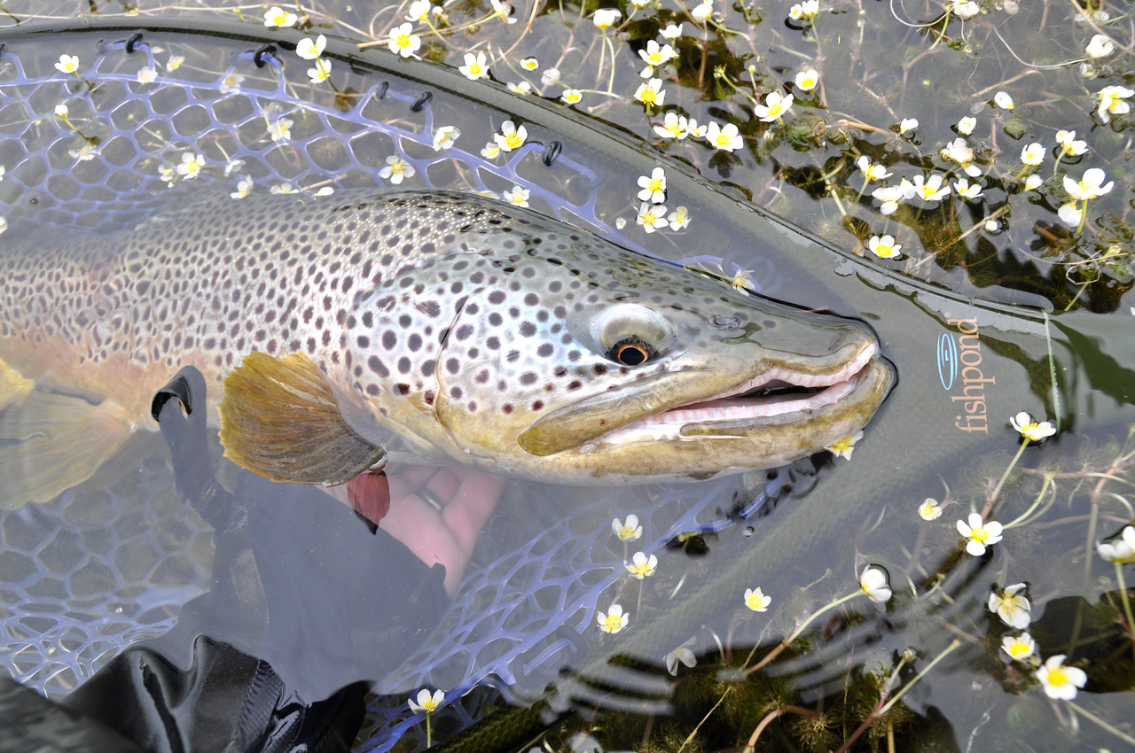 Beautiful brown caught by Gerry Lenzen... Photo: Doug Mcknight