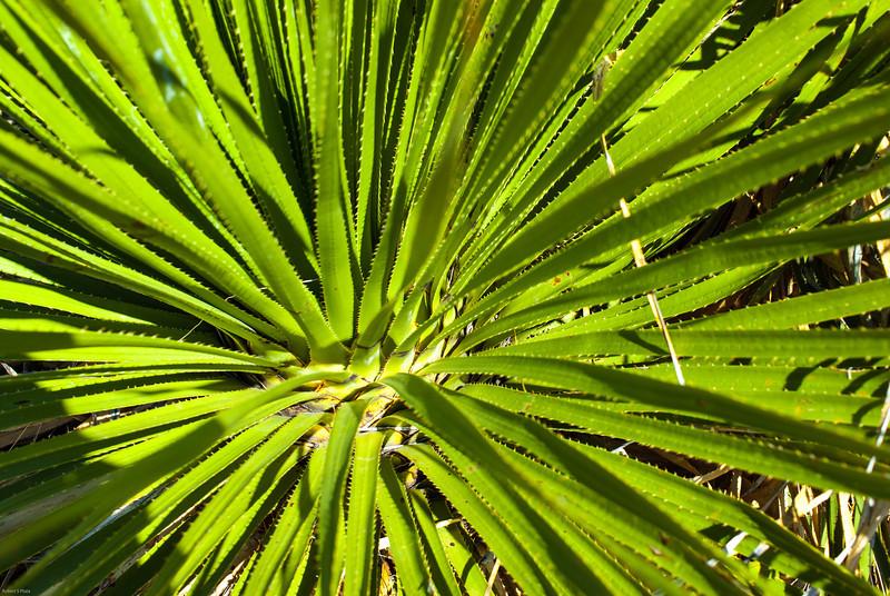 Sotol plant.