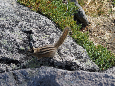 A chipmunk on the Second Burroughs.