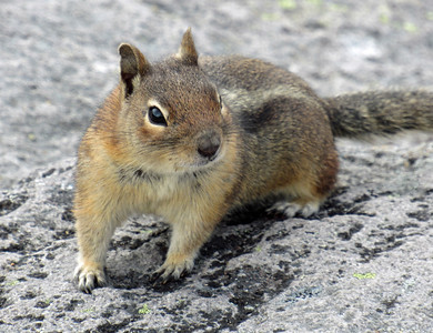A ground squirrel (?) on the Second Burroughs. Taken by Shannon Campbell.
