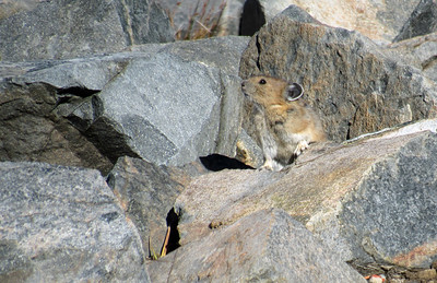 Perfectly posed pika on  Sourdough Ridge close to Frozen Lake. Taken by Shannon Campbell with his super zoom.