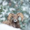 Bighorn Ram in Snow Storm