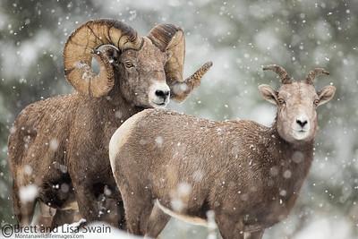 Snow Storm Rut