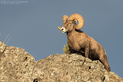 Sunset Bighorn Ram