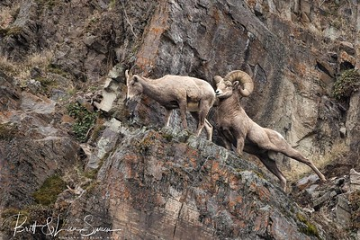 """The Stud"" Bighorn Ram With Ewe During Rut"