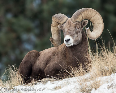 Brown and White Bighorn Sheep