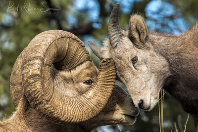 Interested?-Bighorn Ram and Ewe