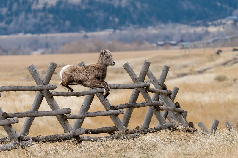 A Bighorn Lamb will follow Mom anywhere