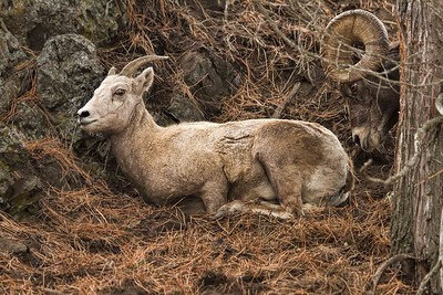 Intruder?  Bighorn Ewe and Ram