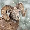 Bighorn Ram Portrait (snow)