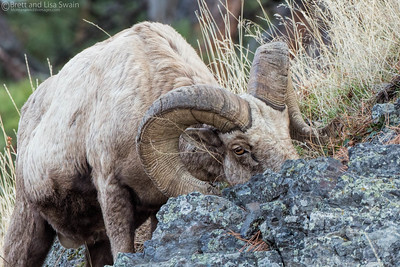 Bighorn Ram Feeding