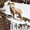 Bighorn Ram On Ice