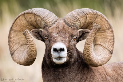 Ram Super Portrait