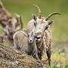 Mama and Baby Bighorn Sheep