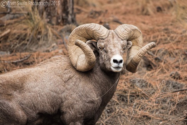 New World Record Ram-February, 2018-----216 3/8 B&C