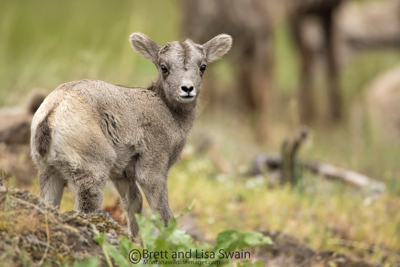 Bighorn Lamb Looking Back