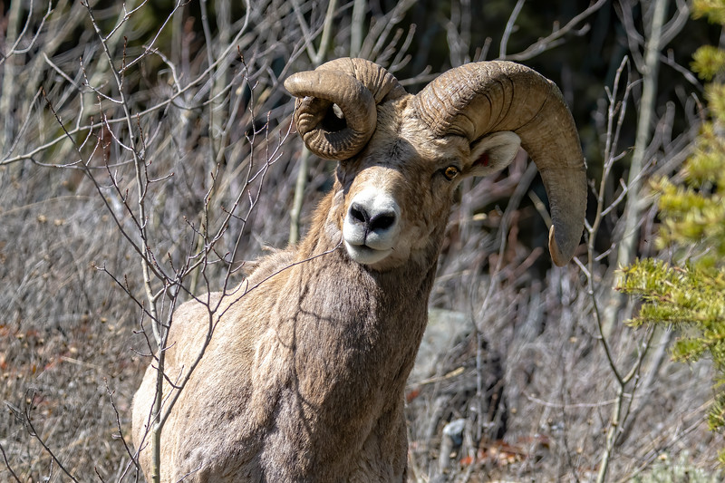 Bighorn Ram with very atypical horn growth
