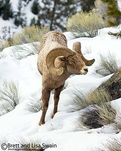 Bighorn Ram on Green and White