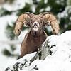 Bighorn Ram (flehmen response)