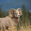 Gold, Green, and Blue-Bighorn Ram
