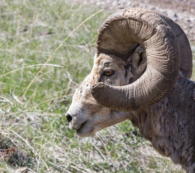 Broomed tip on this ram.