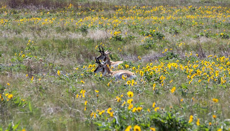 Arrowleaf Balsamroot and Pronghorn bucks means springtime in Mt
