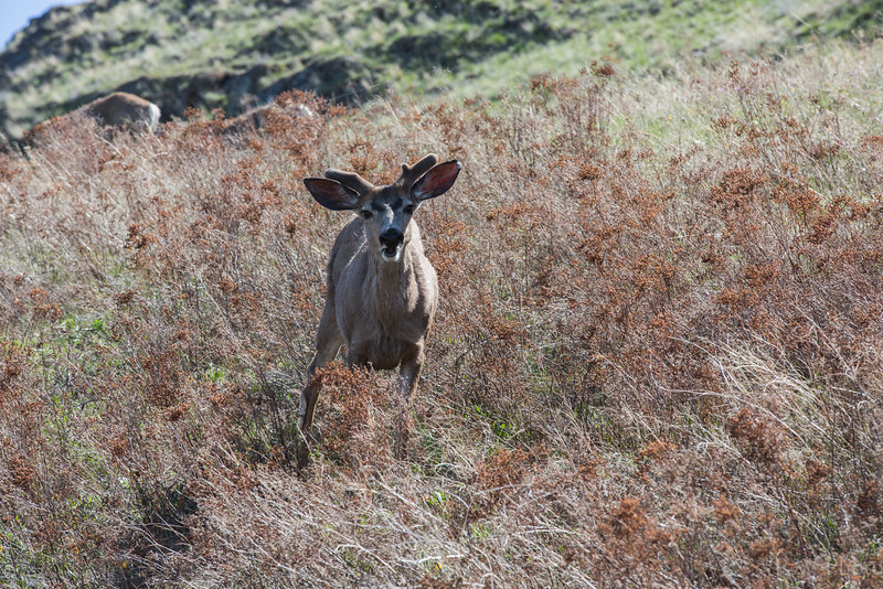 Mule Deer buck and new antlers.