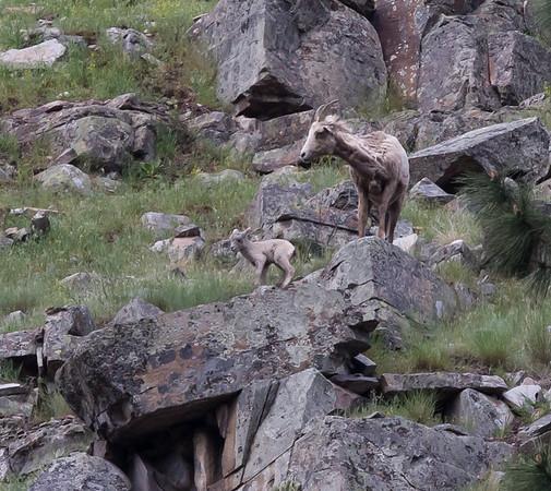 Bighorn sheep lambs, April 25th