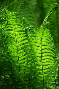 Green browses of fern leaves Matteuccia struthiopteris