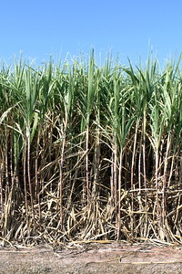 Sugar Cane, Sugarcane Plants Grow In Field, Plantation Sugar Cane Tree Farm, Background Of Sugarcane