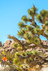 Joshua Tree National Park - 2016 -D1- C3-0031 - 72 ppi-3
