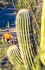 Saguaro National Park - C2-0020 - 72 ppi-2