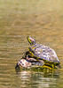 Turtle in Meramec River at Onondaga Cave State Park, MO - C4-0005 - 72 ppi-2