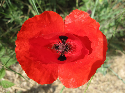 Classic Italian Red Poppy - everywhere in lush fields of red