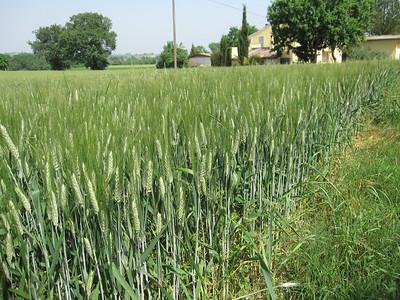 Wheat fields near Urbino
