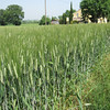 Wheat fields near Urbino
