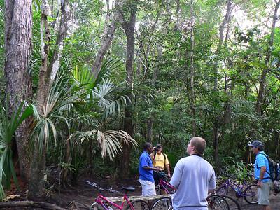 A mahogany tree in the rain forest