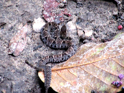 Fer de Lance, a VERY venomous Snake