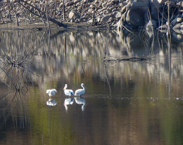 White pelicans Lake Hodges 121013 P2510249