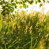 Grass in summer morning