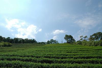 坪林附近的茶園