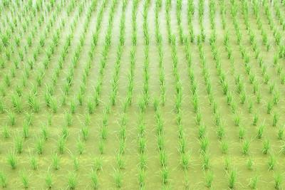 剛插秧的稻作