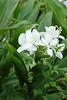 東源鄉廣為栽種的不知名花種--->感謝友人提供資訊應為野薑花