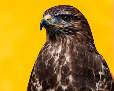 Hawk at the Fair