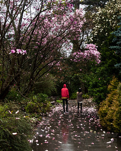 Every spring, the San Francisco Botanical Garden has the Magnificent Magnolias event.  The gardens have over 100 Magnolias which all bloom once a year.  In 2014, the blooms came very early due to unusually warm weather.  Pretty much the middle of winter:  January and February. The SF Botanical Garden is 55 acres of calm in the heart of Golden Gate Park.  It has over 8,000 species of plants and is one of the most diverse gardens in the world.  It is definitely worth a tour as a visitor, or especially as a city resident (entry is free for residents). www.sfbotanicalgarden.org  Comments and critiques are welcome.  Contact biker1337@yahoo.com to use this image.