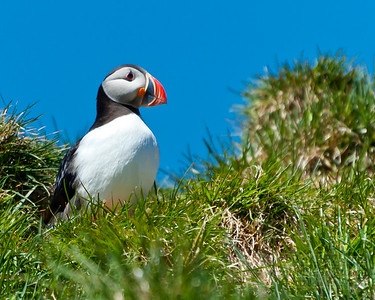 Puffin in the Grass