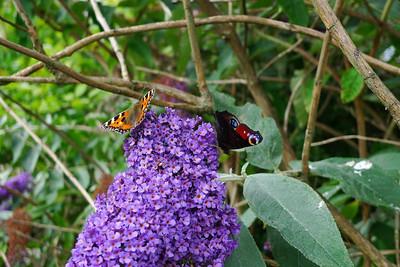 Butterflies on butterfly bush