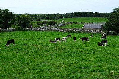 Cattle near Kilfenora Cathedral