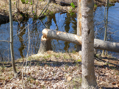 Detail of beaver-felled tree